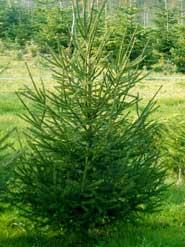 Rotfichte weihnachtsbaum